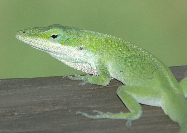 """Wednesday, June 6<br /> LIZARD ON THE DECK<br /> <br /> <br /> <br /> for more lizard pics, click the link below<br /> <br /> <a href=""""http://moorememories.smugmug.com/gallery/2988589"""">http://moorememories.smugmug.com/gallery/2988589</a>"""