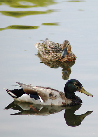 """Tuesday, June 12<br /> DUCKS IN THE POND<br /> <br /> Mountain Park Park in Stone Mountain, GA<br /> <br /> <br /> """"Be like a duck. Calm on the surface, but always paddling like the dickens underneath.""""<br />  ~Michael Caine"""