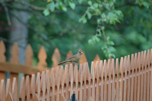 """Monday, May 28<br /> LADY CARDINAL ON THE FENCE<br /> <br /> One of my joys each morning is the sound of birds singing.  As I sat on the deck listening to their songs, a female cardinal landed on the fence.  <br /> <br /> <br /> <br /> <br /> """"Spring would not be spring without bird songs.""""<br /> ~Francis M. Chapman"""
