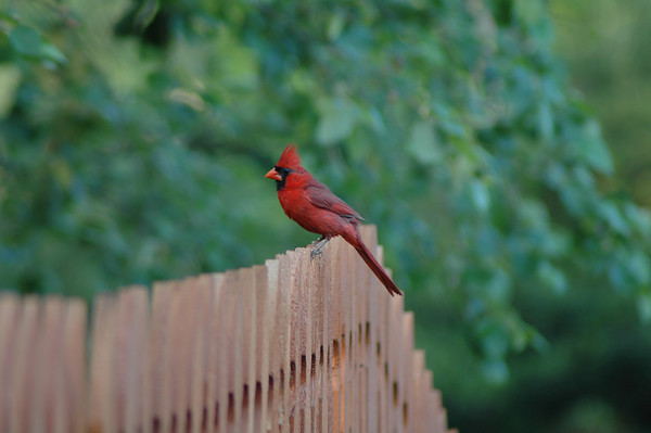 """Tuesday, May 29<br /> BOY CARDINAL<br /> <br /> This morning I got a little closer shot of the male than I got of the female yesterday.  Still not as close as I would like.  Maybe another day.<br /> <br /> <br /> <br /> """"Use what talents you possess: the woods would be very silent if no birds sang there except those that sang best.""""<br /> ~Henry Van Dyke"""