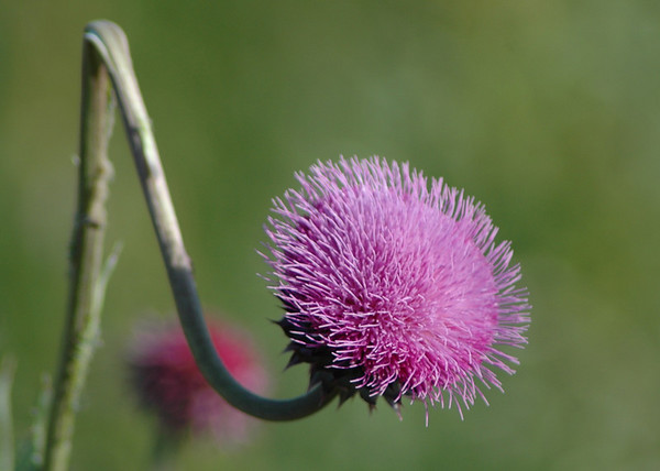 "Monday, June 4<br /> THISTLE FLOWER<br /> <br /> <br /> <br /> ""A weed is but an unloved flower.""<br />   ~Ella Wheeler Wilcox"